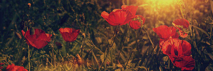 Poppies on the fild with sunlight, panorama view.
