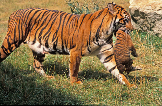 TIGRE DE SUMATRA panthera tigris sumatrae