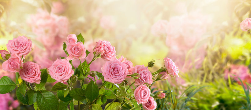 Mysterious fairy tale spring floral wide panoramic banner with fabulous blooming pink rose flowers summer fantasy garden on blurred sunny bright shiny glowing background and copy space