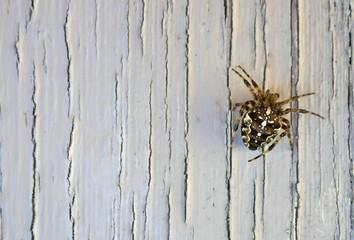 Garden spider (Araneus diadematus) Close-up against white painted, weathered background.