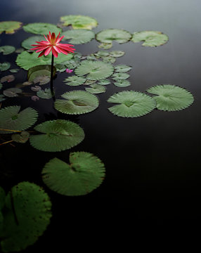 One water lily flower among lilypads