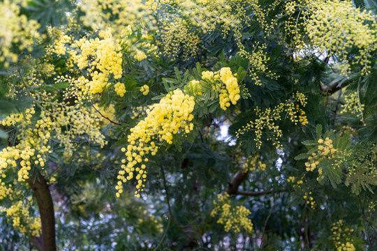 Gazia or acacia farnesiana or mimosa or vachellia farnesiana or yellow popinac or huisache tree are the names of a small tree of the nature.