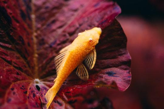 Yellow Ancistrus albino in a freshwater aquarium.