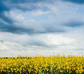 Fototapete - Bright yellow rapeseed canola field at spring time with dramtic sky