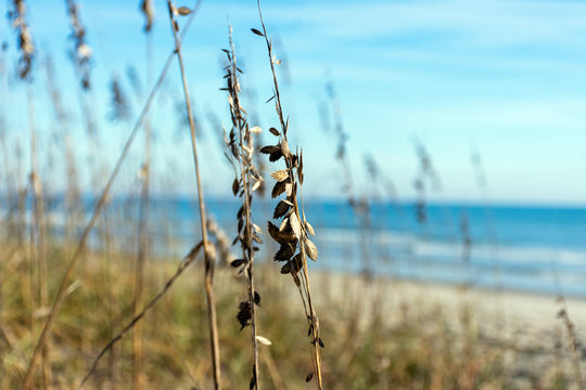 Sea oats, or Uniola paniculata are an important plant in the formation of sand dunes and maintaining beach health. On the shore at Myrtle Beach State Park, they blow in the breeze against a blue sky.