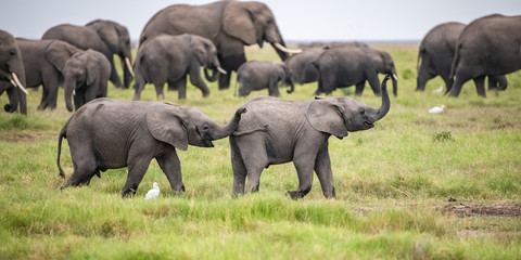 Two young elephants playing together in Africa, cute animals in the Amboseli park in Kenya