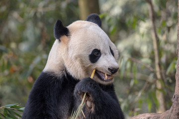 Fotomurales - Cute Panda Bear Eating Bamboo, Sichuan Province China. Panda