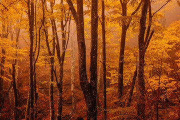 Forest with autumn colors among fog