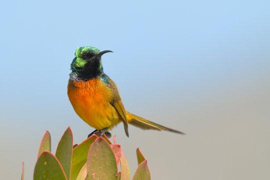 Orange breasted Sunbird Anthobaphes violacea