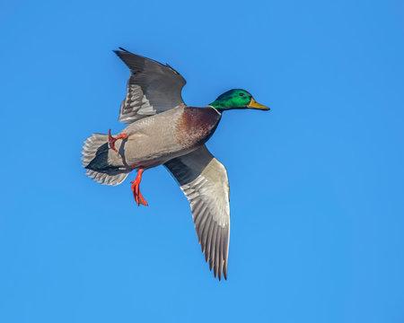 Mallard Drake in flight