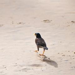 Wildlife. Common myna bird walks on the sand at Karon Beach in Thailand