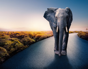 African elephant standing on tar road.