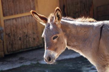 Primo piano Asino - Zoo di Pistoia, Italia.