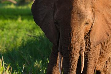 Elefant im Abendlicht im Tarangire-Nationalpark mit Freiraum für Text