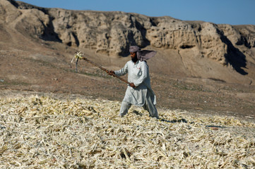 A laborer sets sugarcane bagasse to dry and to be used as fuel for cooking in Charsadda