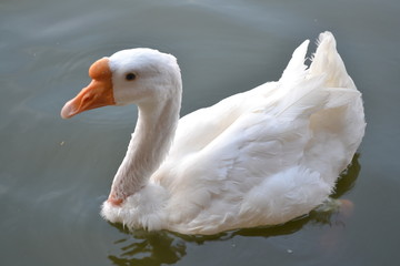 Swimming geese pictures