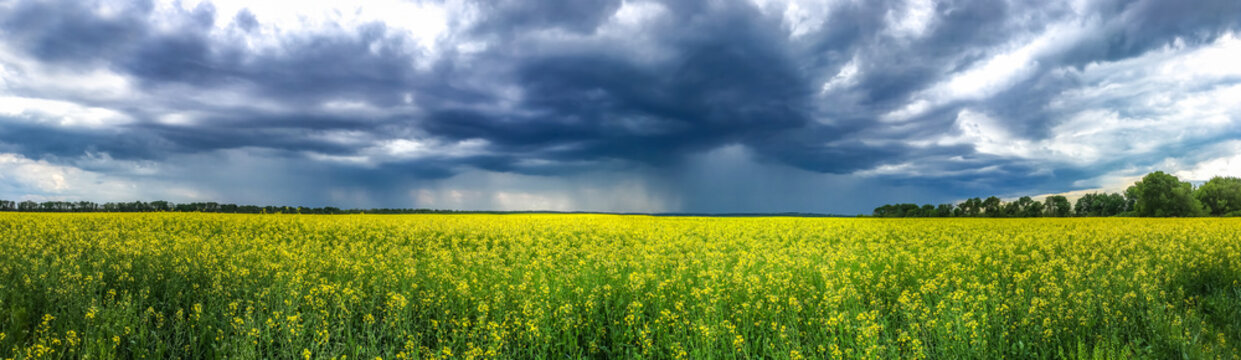 Beauty In Nature Summer Landscape. Panoramic View On Canola Flowers Or Yellow Rape Seed Field Before Storm. Idyllic Blooming Meadow, Green Grass, Dark Cloudy Sky.