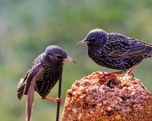 Common European Starlings (Sturnus vulgaris) Having a Disagreement Over Food