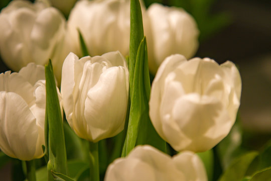 details of blooming white tulips