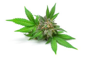Macro of Medical Marijuana Bud or Hemp Flower with Green Leaves Isolated on White Background