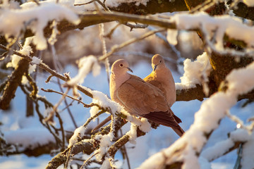 A pair of a collared doves on branch of snowy tree in winter