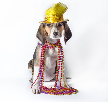 mardi gras puppy with long ears in multi-colored beads and carnival hat on white background