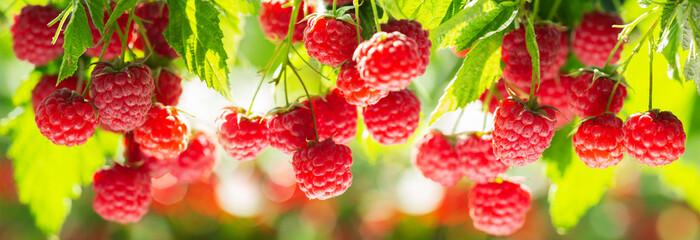branch of ripe raspberries in a garden Fototapete