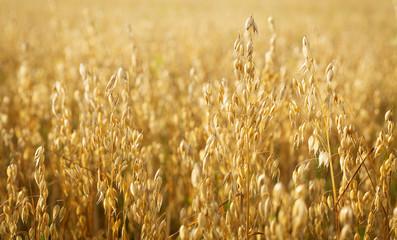 Ripe ears of oats in a field Fotomurales