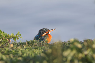 Kingfisher resting after fishing