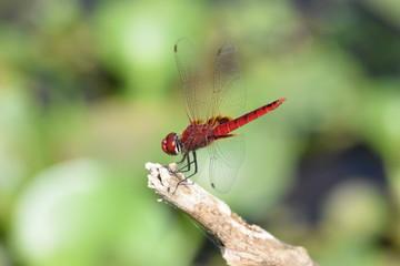 Dragonfly, Kumarakom Bird Sanctuary, Kerala, India