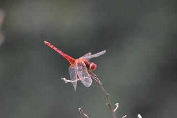 Dragonfly, Marari Beach, Kerala, India