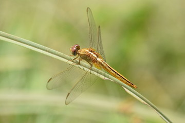 Dragonfly, Kerala, India