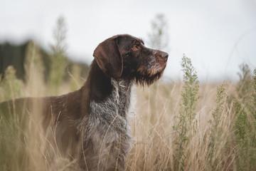 Seitliche Aufnahme von Deutsch Drahthaar Rüden, Vorstehhund im Feld