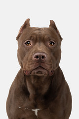 Pit Bull Terrier On A White Background. Pet in the studio.