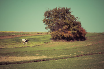 Acrylic Prints Olive empty fields and cow next to single tree