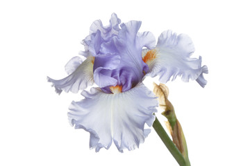 Acrylic Prints Iris Blue iris flower Isolated on a white background.