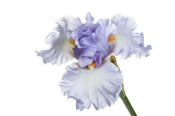 Blue iris flower Isolated on a white background.