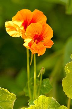 Grande capucine (Tropaeolum majus) en fleur