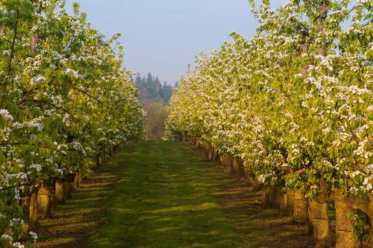 Poiriers en fleurs dans les vergers de Vron