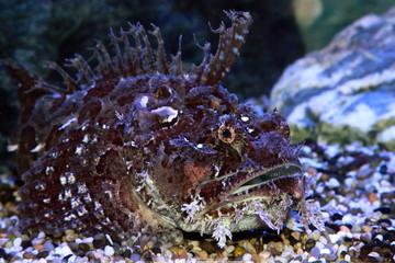 A stonefish (Synanceia verrucosa) in marine aquarium