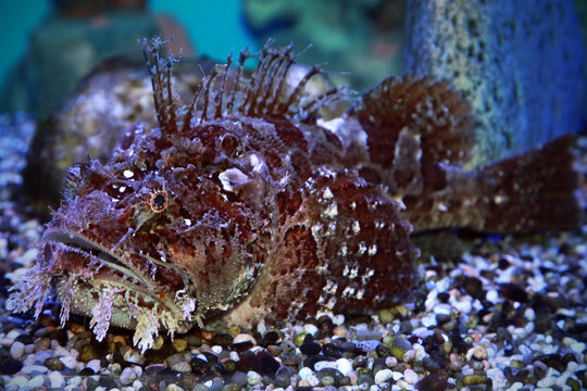 A stonefish (Synanceia verrucosa) in marine aquarium