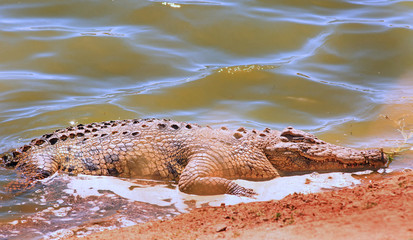 African Nile Crocodile partially out of water with nice sunlight shining on the water. South Luangwa, Zambia