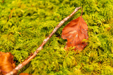 Autumn leaves over the moss in Irati Forest National Park