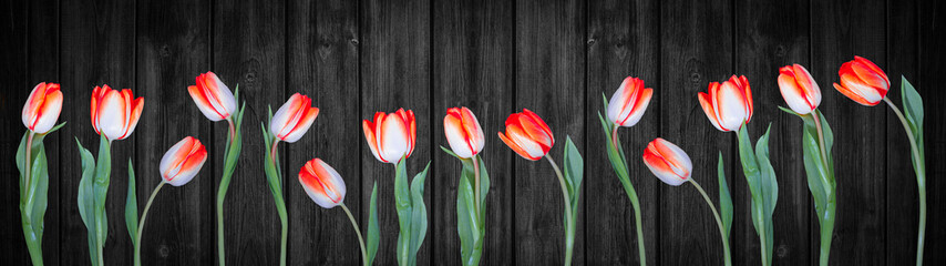 Spring background panorama banner - Red white tulips isolated on black rustic wooden wall texture