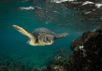 Poster Onder water Green Sea turtles in Hawaii on the rocky reef