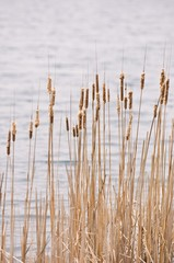 Vertical picture of common reed with the lake under the sunlight on the background