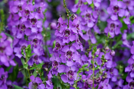 Beautiful clusters of Angelonia Angelface Super Blue flowers