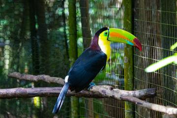 Foto op Plexiglas Toekan Toucan on a branch