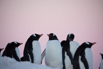 Spoed Fotobehang Pinguin Group of gentoo penguins on the rocks in Antarctica at a colony rookery with pink sunset or sunrise sky in the background
