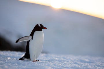 Foto op Canvas Pinguin Gentoo penguin on the snow and ice of Antarctica with mountains and yellow orange sky
